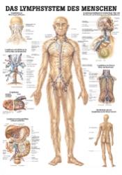 Lymphsystem 70 x 100 cm