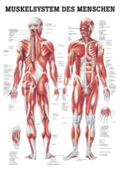 Muskulatur 70 x 100 cm